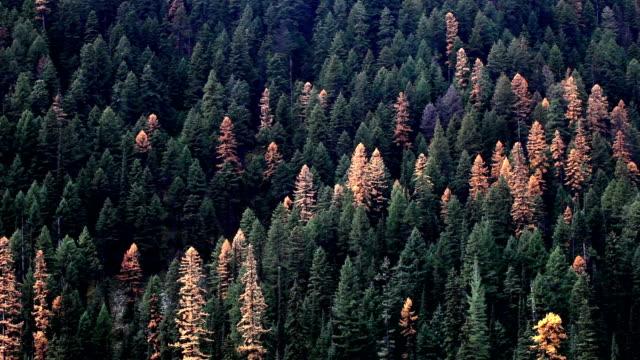 vídeos y material grabado en eventos de stock de pan down of autumn golden larch trees in pine forest. - pinaceae