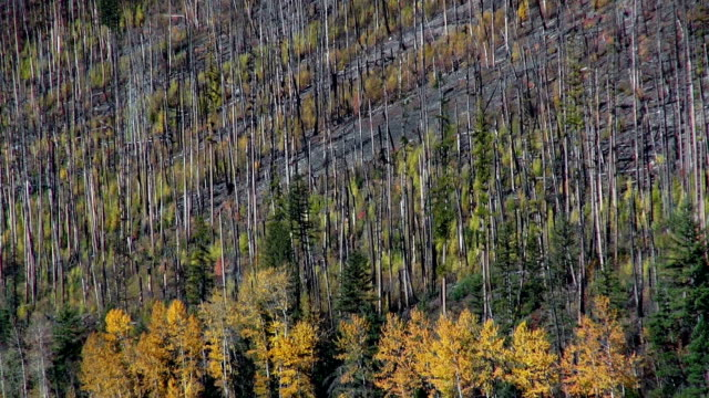pan down of regrowing forest fire forest to golden fall colored trees along mountain lake shoreline. - glacier national park us stock videos and b-roll footage