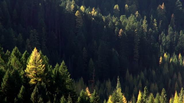 vídeos y material grabado en eventos de stock de pan down telephoto shot of golden fall colored trees in evergreen forest. - pinaceae