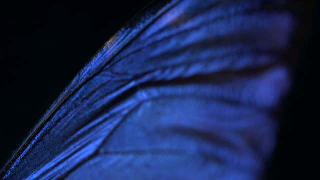 pan down the beautiful iridescent wings of a butterfly specimen. - butterfly stock videos & royalty-free footage