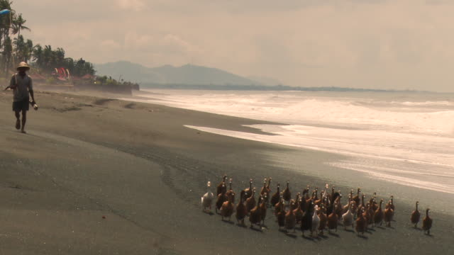 pan: ducks walking on the beach of kuta indonesia - village stock videos & royalty-free footage