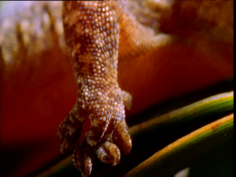 pan from clinging foot of gecko to head and eye, new caledonia - frankrikes utomeuropeiska områden bildbanksvideor och videomaterial från bakom kulisserna