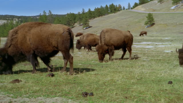 pan from left to right across herd of american bison grazing at bottom of hill at custer state park / custer, south dakota - custer state park stock videos & royalty-free footage