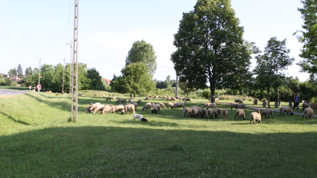 vídeos de stock, filmes e b-roll de pan from left to right of a shepherd and his herd of sheeps and sheep dogs in hungary - cão pastor