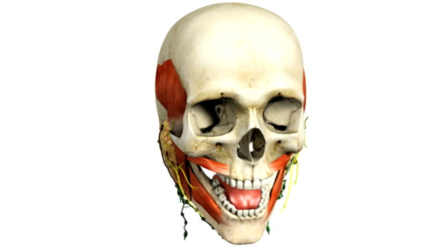 vídeos de stock, filmes e b-roll de a pan from left to right of the skull with some basic musculature and the salivary glands present.  all elements of the animation fade down except the salivary glands. - músculo humano