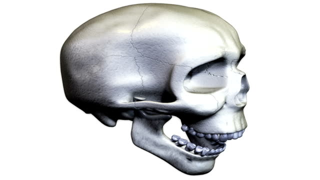 a pan from left to right of the skull with the lower jaw opening and closing. - biomedical illustration stock videos & royalty-free footage