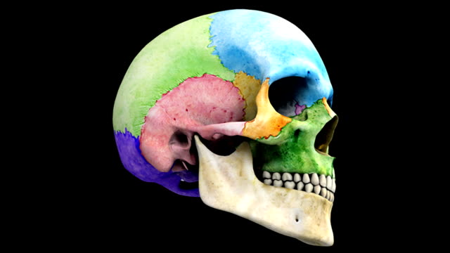 A pan from left to right on the skull. The bones of the skull are colored to emphasize their structure. During the pan the skull fades to an X-ray view and back. This animation is on a black backgroun