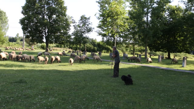 Pan from right to left of a shepherd and his herd of sheeps and sheep dogs in Hungary