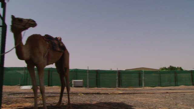 pan from two emirati men walking in an enclosure at a desert farm, to a camel tied to a post. camel racing is a traditional sport and an integral... - herbivorous stock videos & royalty-free footage