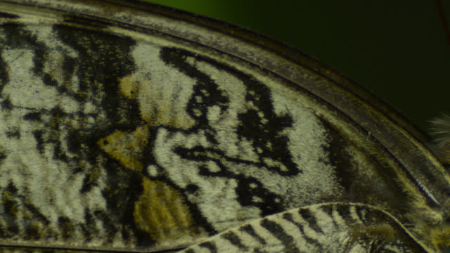 Pan from wings to head of resting owl butterfly (Caligo species).