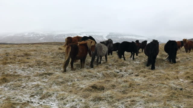 pan: horses of east fjords iceland on the mountain - 干し草点の映像素材/bロール
