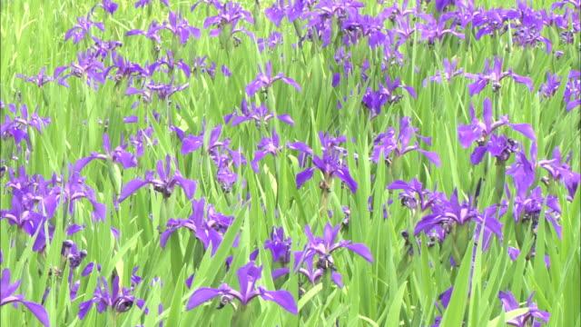 pan. japanese iris flowers - iris plant stock videos & royalty-free footage
