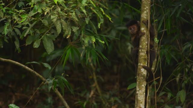 vídeos de stock e filmes b-roll de pan jungle setting wih a capuchin monkey moving down a tree trunk. - 2013