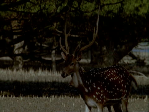 MS pan left, 2 Chital Deer (Axis axis) walking through mangrove swamp forest, India