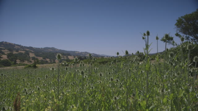 pan left across dense field thistles near hills - california stock videos & royalty-free footage