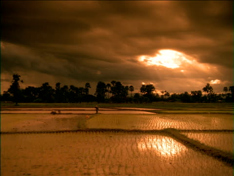Pan left across farm labourers working in flooded rice paddy field at sunset, China