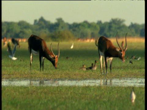 Pan left across Lechwe in Bangweulu swamp