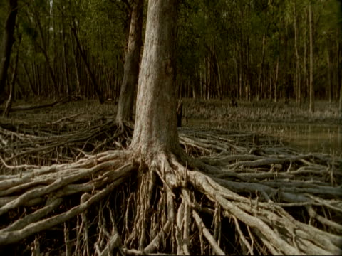 ms pan left across roots of mangrove trees, to swamp at low tide, sunderbans, india - ebbe stock-videos und b-roll-filmmaterial