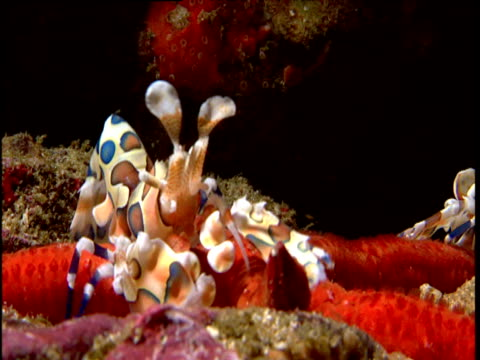 Pan left across two harlequin shrimps on red starfish, Phuket