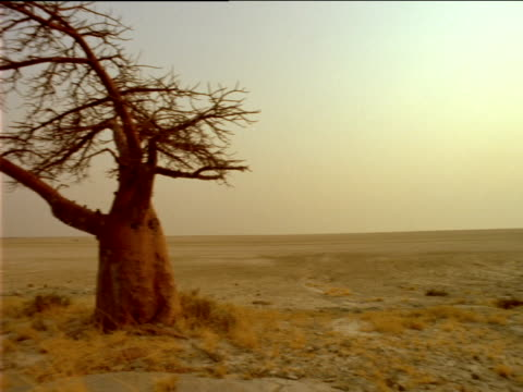 Pan left along arid landscape to Baobab tree at sunset