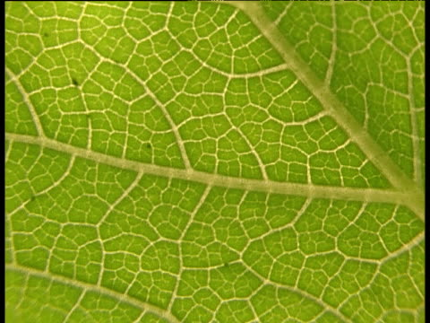 vídeos y material grabado en eventos de stock de pan left along underneath of leaf, backlit showing leaf veins - translúcido
