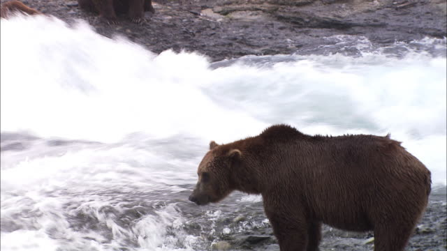 pan left and medium shot of bears in the swiftmoving water on the look out for fish - medium group of animals stock videos & royalty-free footage
