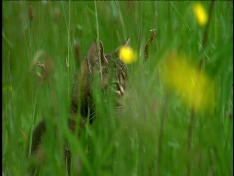 vidéos et rushes de pan left and pull focus from buttercup to tabby cat sitting in long meadow grass. - renoncule d'asie