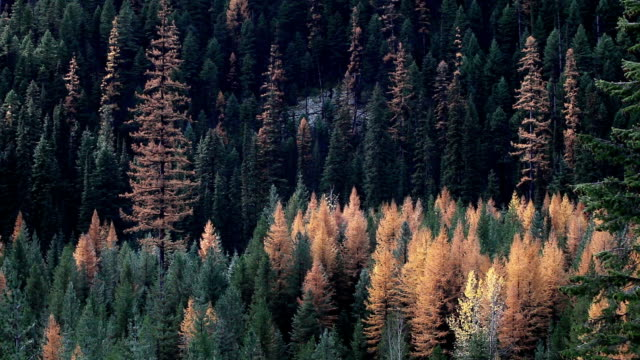 vídeos y material grabado en eventos de stock de pan left and right autumn golden larch trees in pine forest with sun moving across forest. - pinaceae
