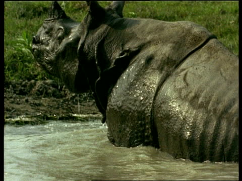 MCU Pan left and zoom out, Greater One-horned Rhinoceros emerging from water, India