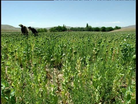 vidéos et rushes de pan left as afghan farmers score heads of opium poppies in large field afghanistan - afghanistan