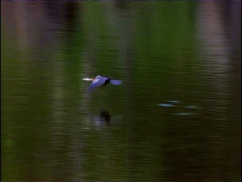 pan left as bird flies low above lake victoria uganda - 空気力学点の映像素材/bロール