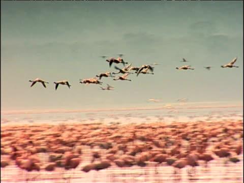 Pan left as flamingos fly above thousands wading below Lake Nakuru Kenya