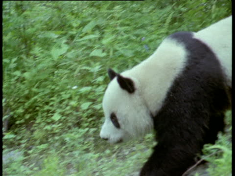 Pan left as giant panda walks through Chengdu forest