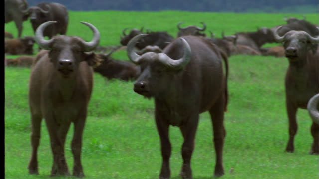 pan left as herd of water buffalo stare into camera, south africa available in hd. - water buffalo stock videos & royalty-free footage