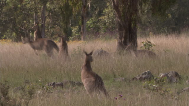pan left as kangaroo hops through long grass. - medium group of animals stock videos & royalty-free footage