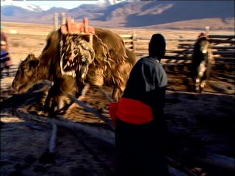 stockvideo's en b-roll-footage met pan left as ox released from pen bucks vigorously darhad valley mongolia - werkdier