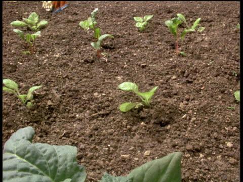Pan left as rhubarb grows in vegetable patch, England