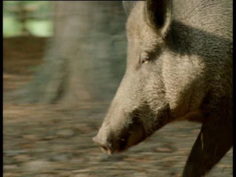 pan left as wild boar runs past camera, europe - tierische nase stock-videos und b-roll-filmmaterial