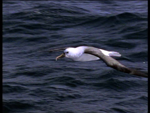 pan left as yellow nosed albatross runs and takes off of ocean and soars away, atlantic - albatross stock videos & royalty-free footage