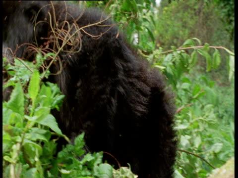 Pan left as young mountain gorilla rolls through vegetation,
