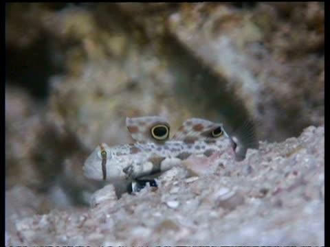 vídeos y material grabado en eventos de stock de ms pan left, crab eyed goby fish moving across seafloor, malaysia - patrones de colores