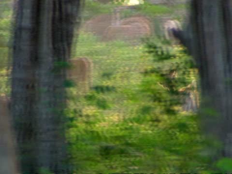 vídeos de stock, filmes e b-roll de ms pan left following herd of deer running through woodland, to view of herd through trees - panning