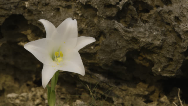 vidéos et rushes de pan left from rock to easter lily (lilium longiflorum). japan. - roc