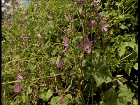 Pan left from traditional hedgerow and mallow flowers to field, UK
