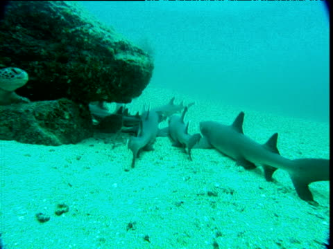 pan left from whitetip reef sharks to green turtle, cocos island, costa rica - ネムリフカ点の映像素材/bロール