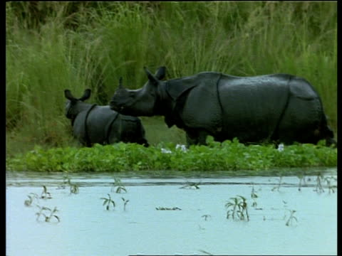 ms pan left, greater one-horned rhinoceros mother and baby leaving water, baby runs off sniffing, india - rhinoceros stock videos and b-roll footage