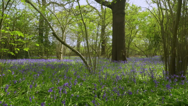 pan left of bluebell woodland with people in background - national park stock videos & royalty-free footage