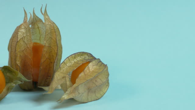Pan left onto, then off, three physallis fruit arranged against a blue background.