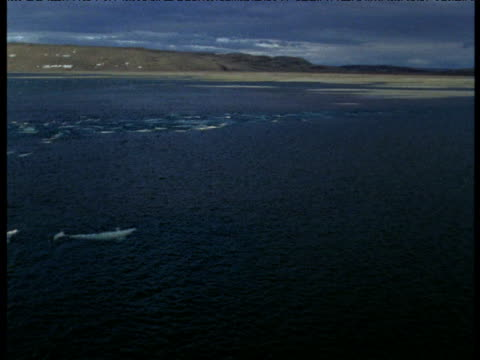 Pan left over Beluga pod at surface, Somerset Island, Canada