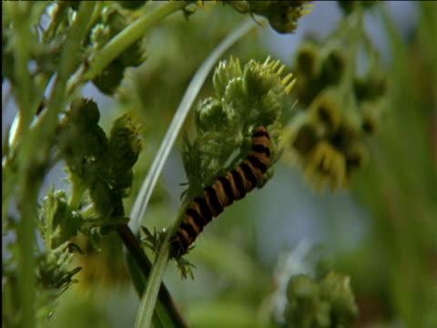 pan left over cinnabar moth caterpillars on ragwort uk - animal markings stock videos & royalty-free footage
